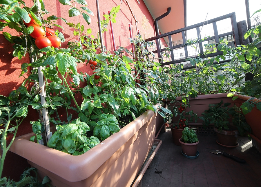 urban vegetable garden with large pots on the terrace and red tomatoes