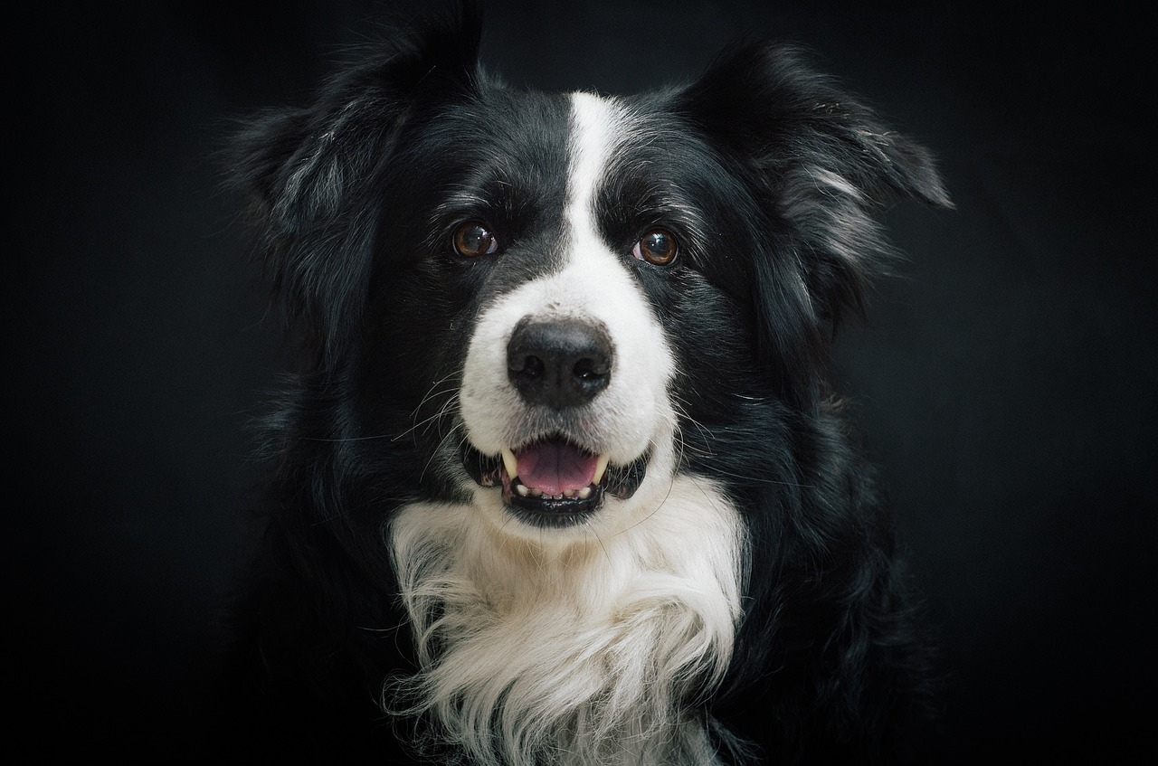 border-collie-987947_1280