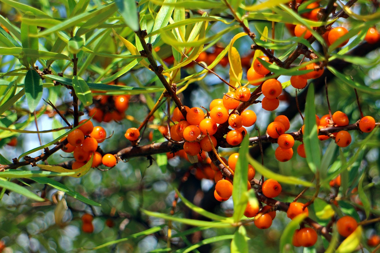 sea-buckthorn-440795_1280