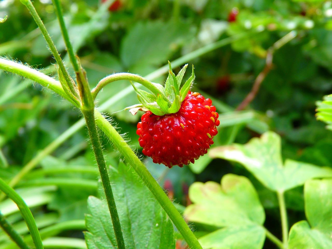 strawberry-7649_1280