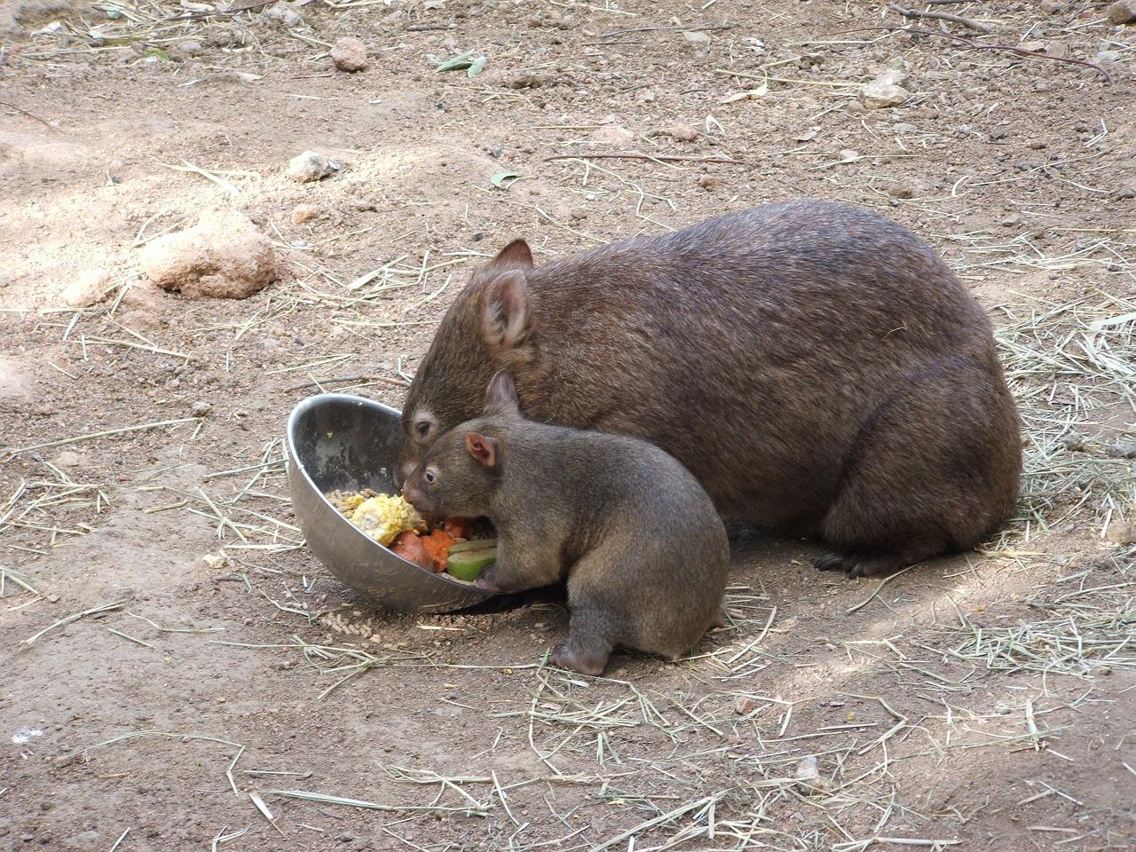 wombat-250858_1280